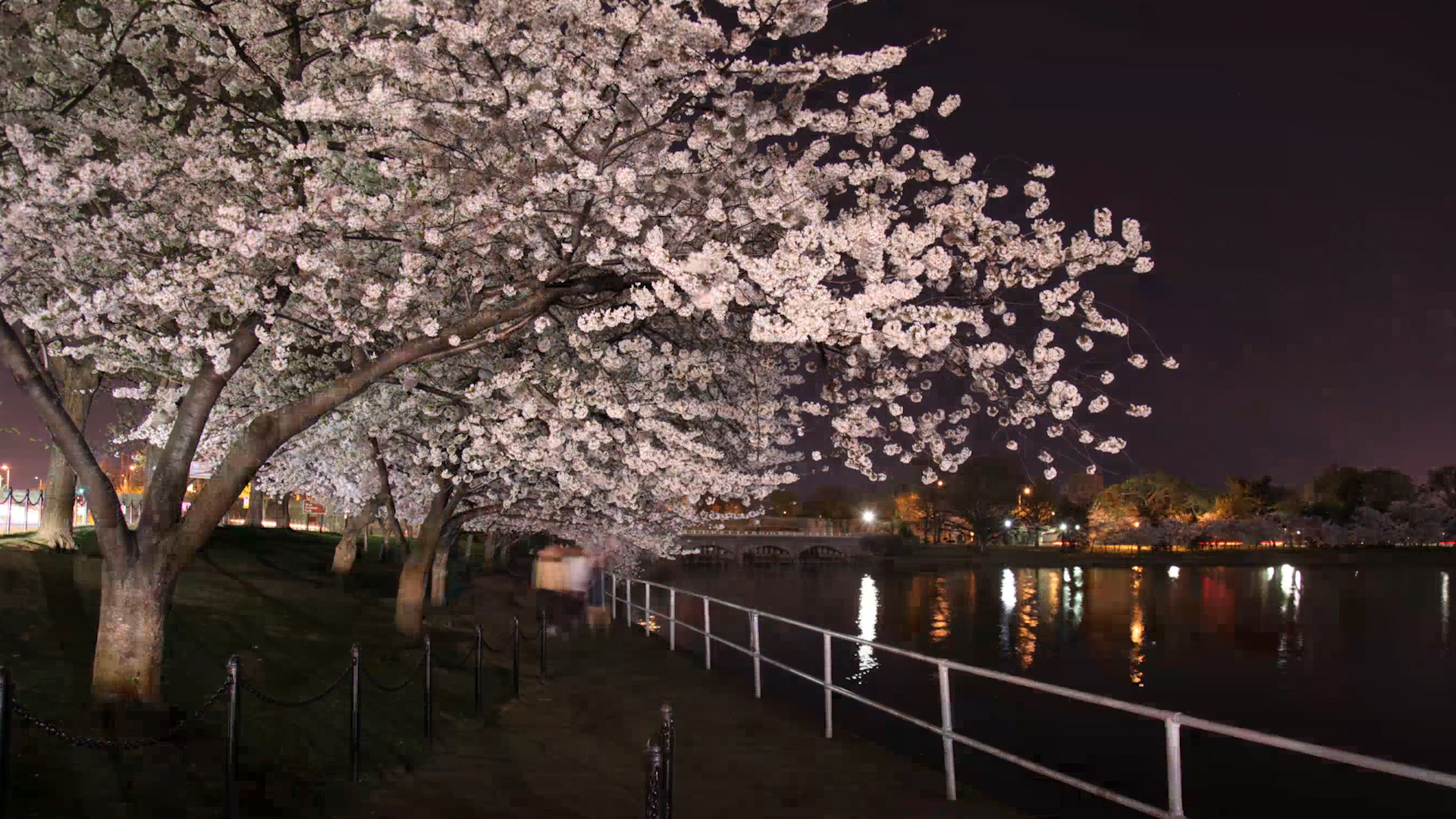 041315cherryblossoms