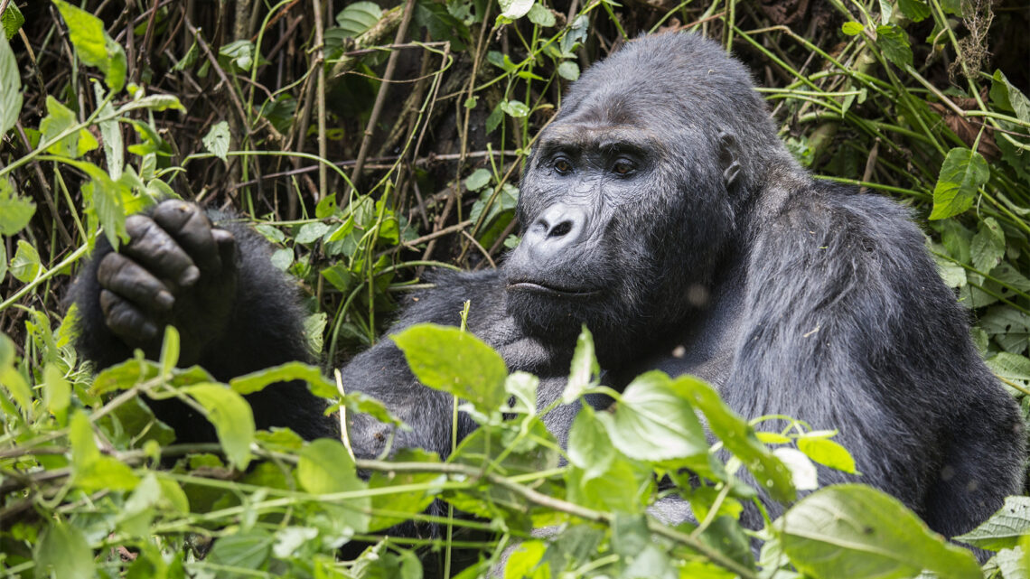 Ahed: How to habituate gorillas for tourism